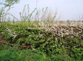 Maasheggen in bloei